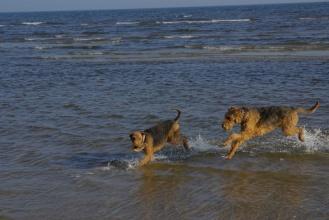 Die Wassertemperaturen schreckten unsere Hunde noch nicht ab. Hier verfolgt Cliff gerade Anouk und beide haben sichtlich Freude beim Sprint durch das Wasser.