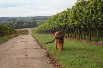 Ivo muss ständig etwas tragen. Der alte Weinstock war richtig schwer, aber er musste über lange Zeit mit. Ein Vorteil hatte die Sache, Ivo naschte keine Weintrauben. Da diese für Hunde giftig sind muss man sehr aufpassen. Ivo frisst sie wahnsinnig gern und muss deshalb bei den Wanderungen meist an die Leine.